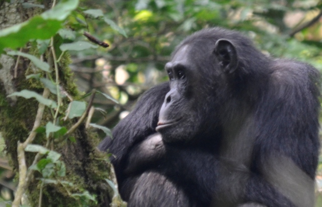 Chimpanzees in Nyungwe Forest